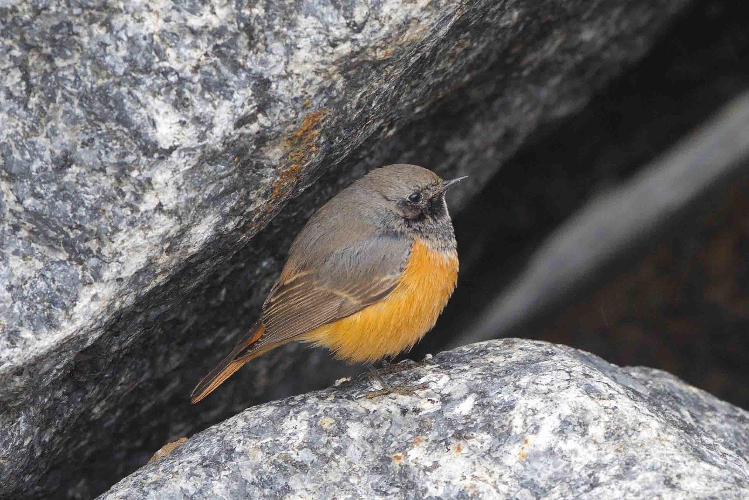 Eastern Black Redstart-Skinningrove-October