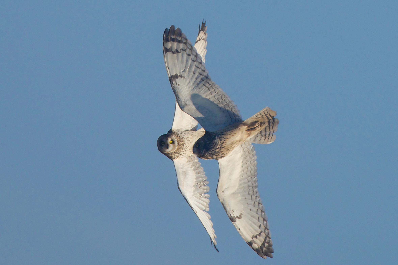 Short-Eared Owl-Welwick-December