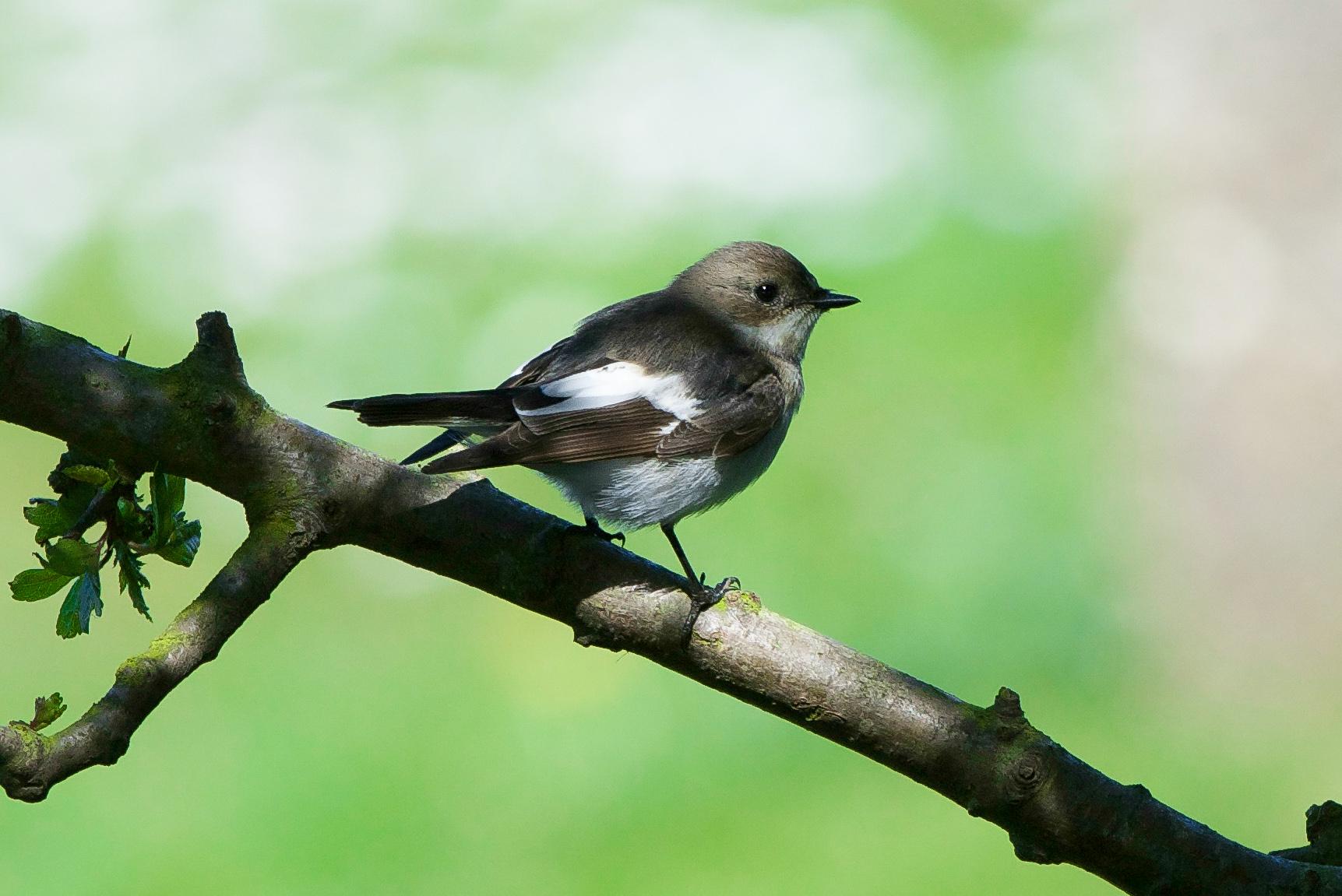 Pied Flycatcher