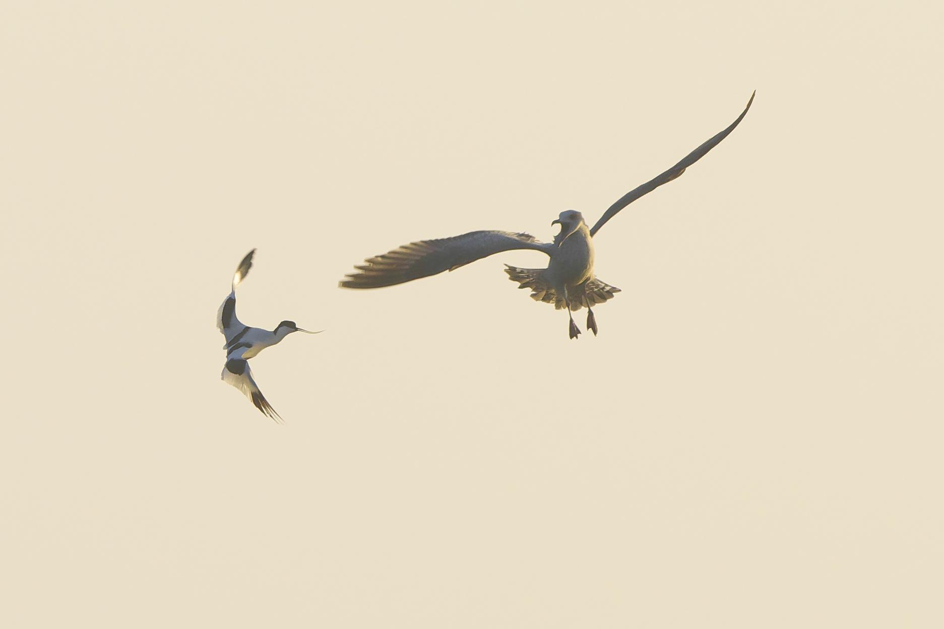 Avocet and gull at Kilnsea Wetlands