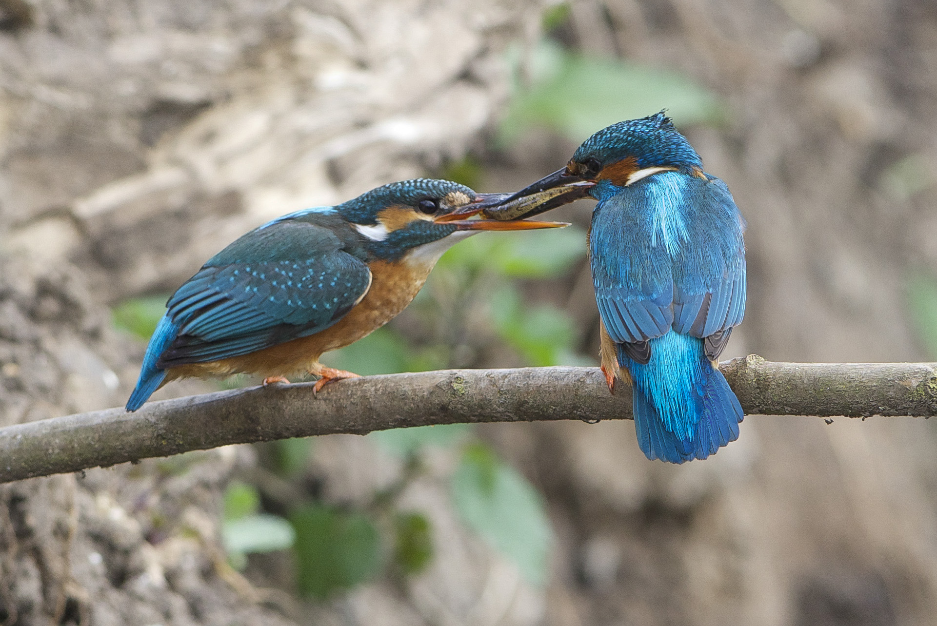 Kingfishers Tophill Low