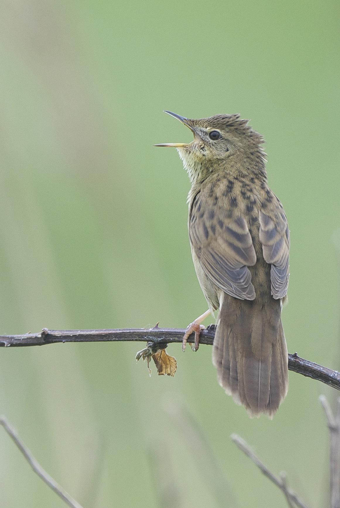 Grasshopper Warbler-Sammy's Point