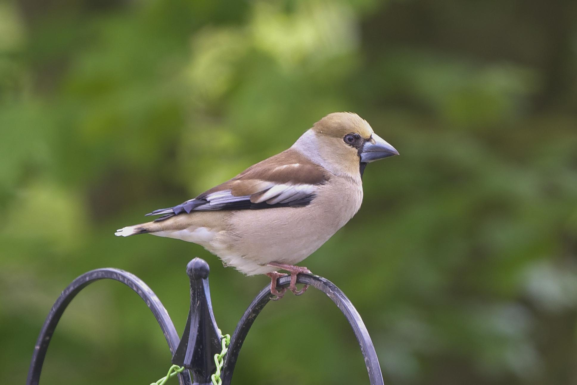 Hawfinch-Kilnsea