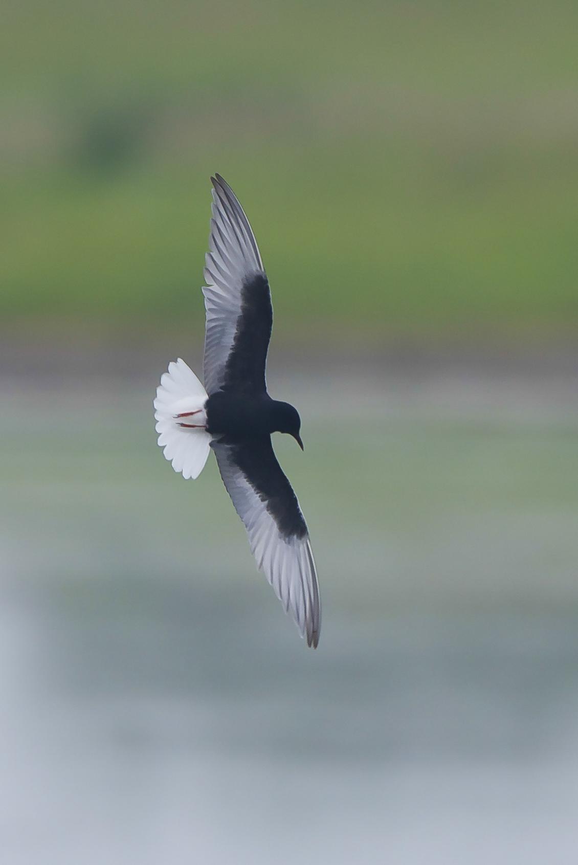 White Winged Black Tern at Kilnsea Wetlands