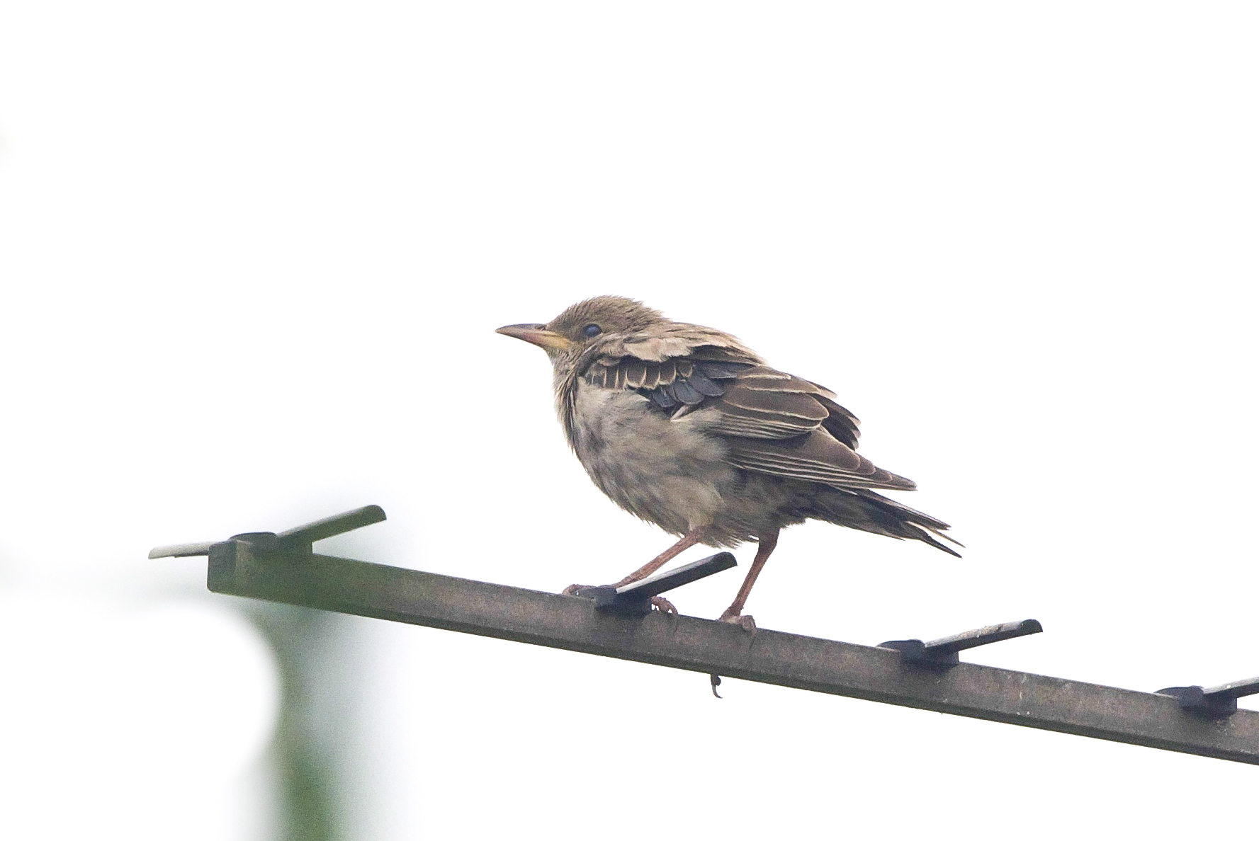 Rose-Coloured Starling at Easington