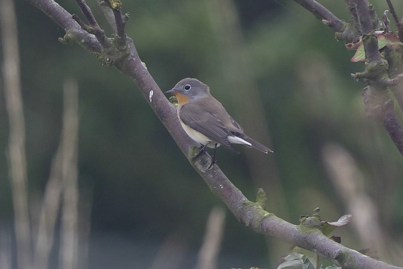 Red-Breasted Flycatcher at Spurn