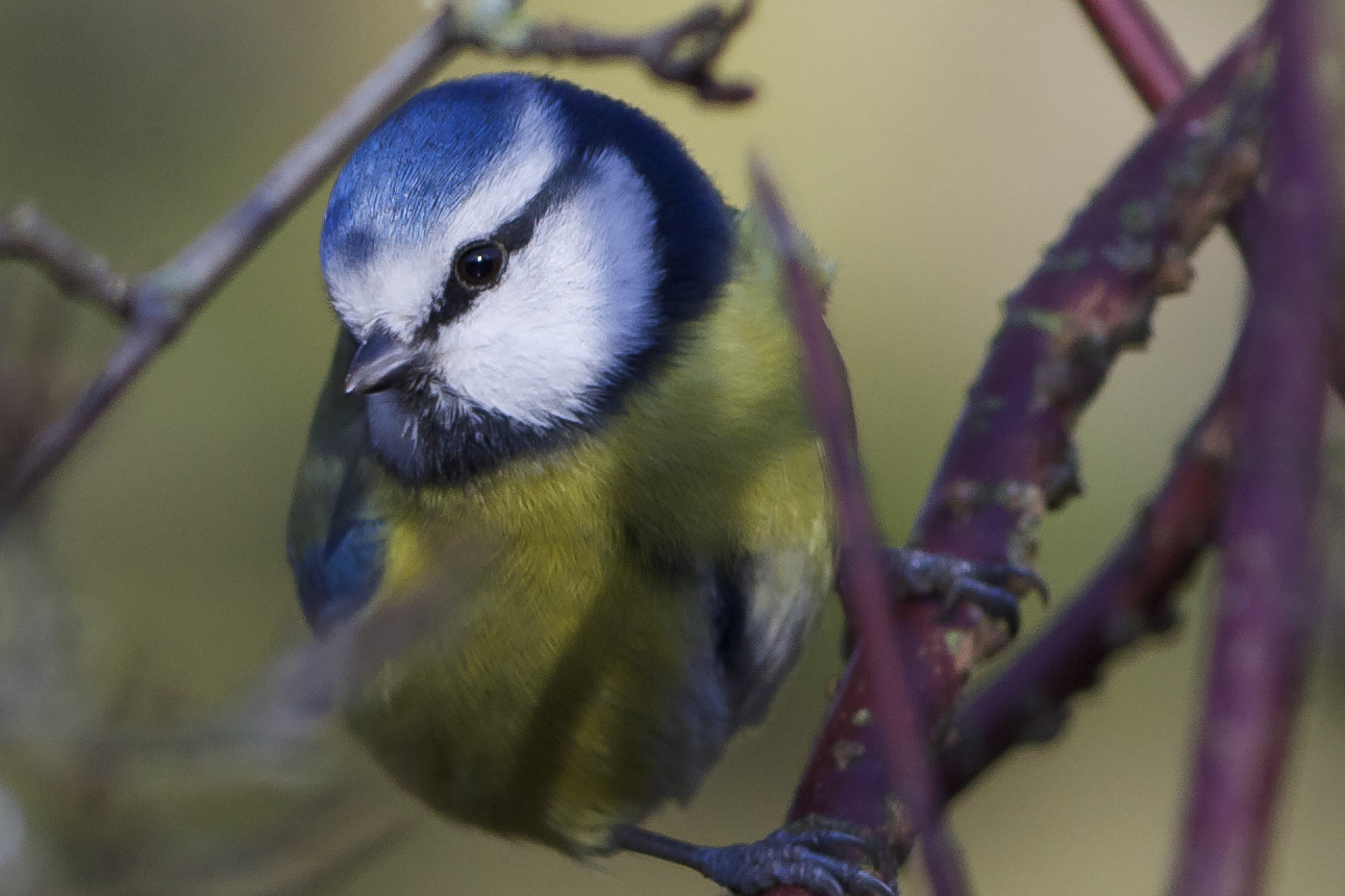Blue Tit at Hessle Country Park