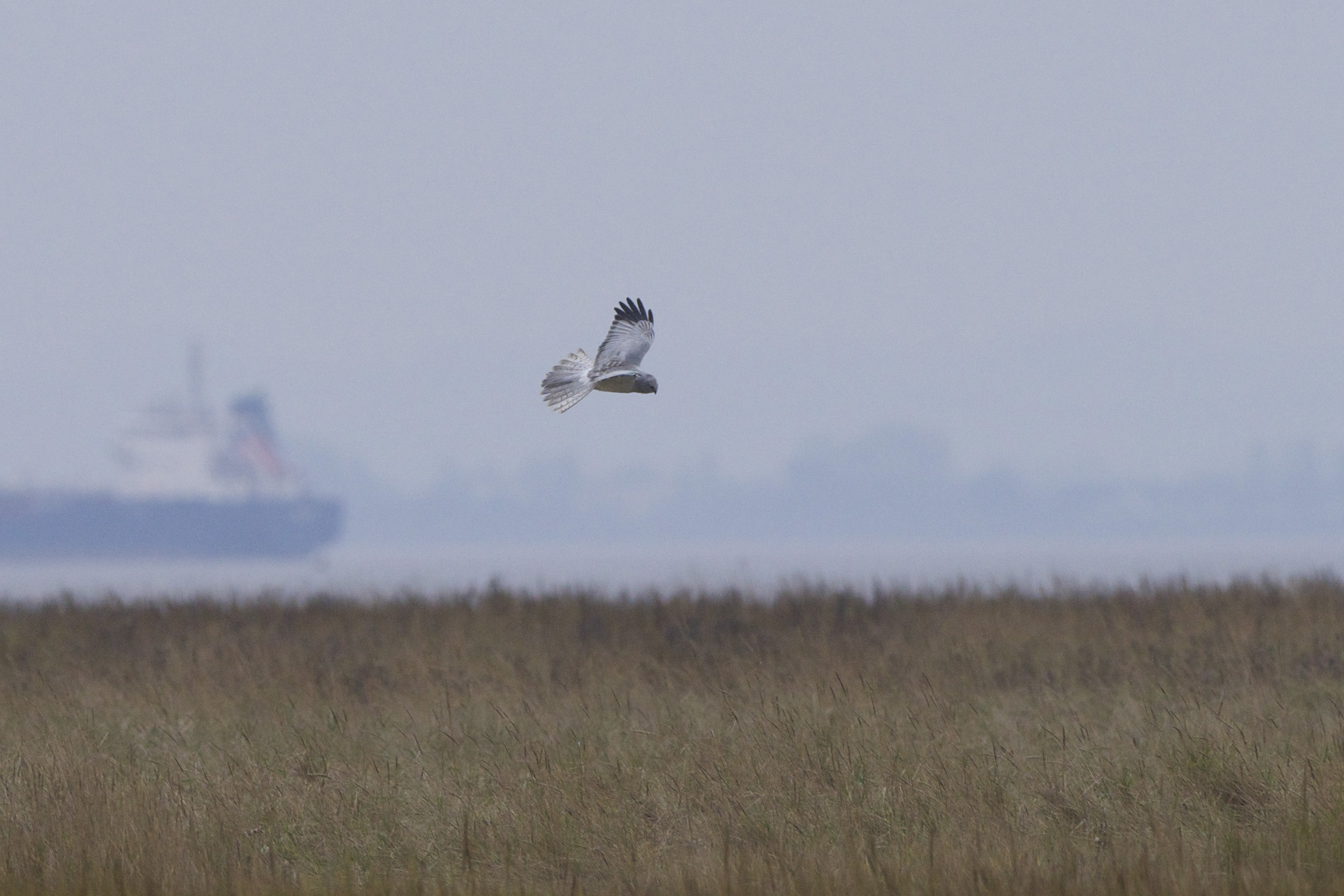 Hen Harrier on the Humber