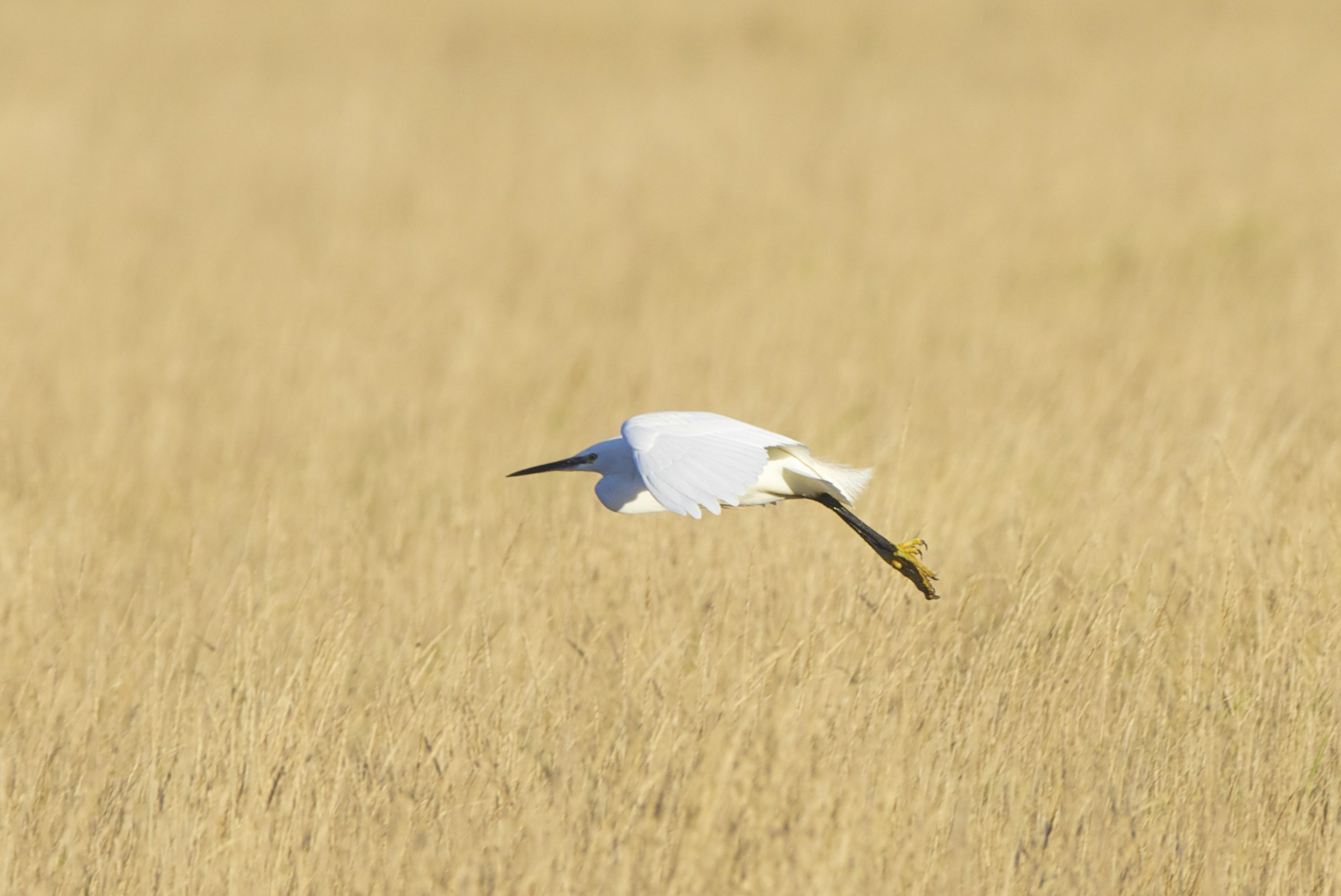 Little Egret at Welwick
