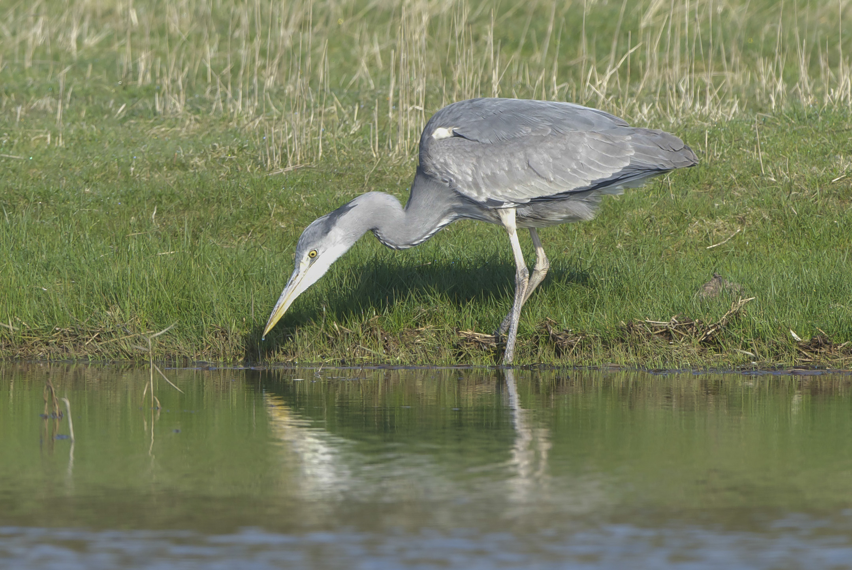 Grey Heron Canal Scrape