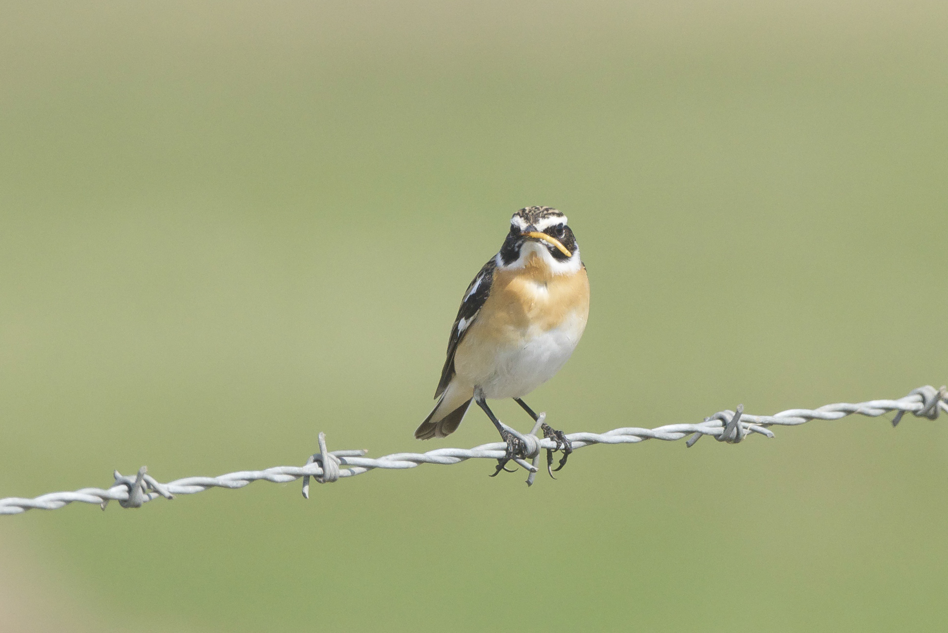 Whinchat Wheatear The Warren
