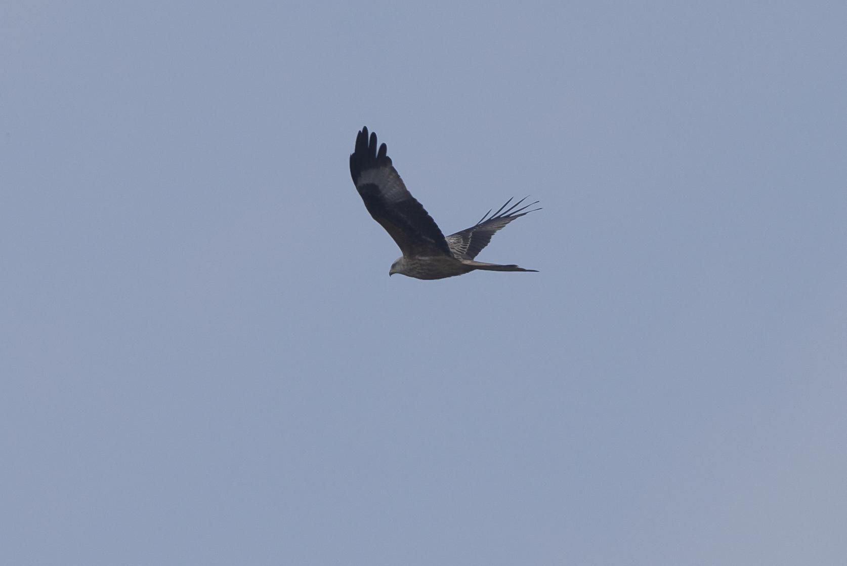 Red Kite The Warren