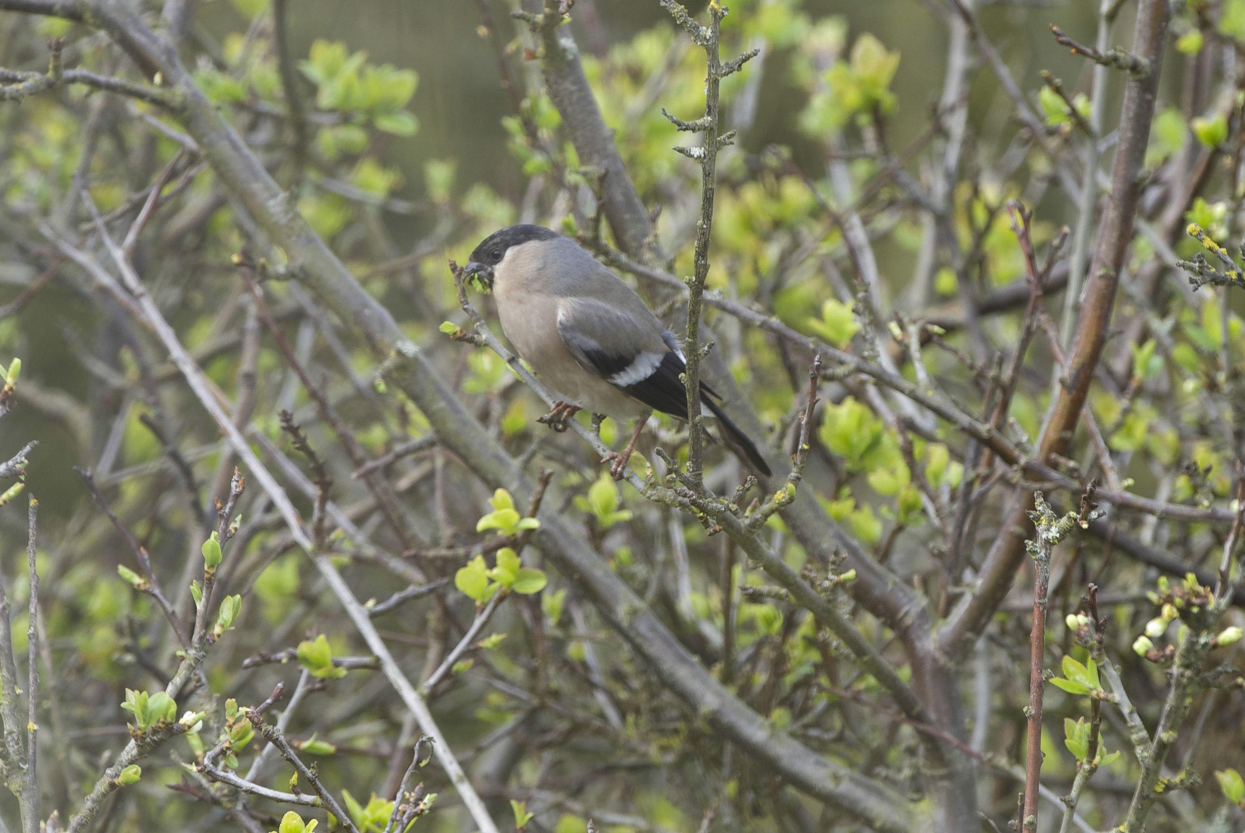 Bullfinch Whinchat The Warren