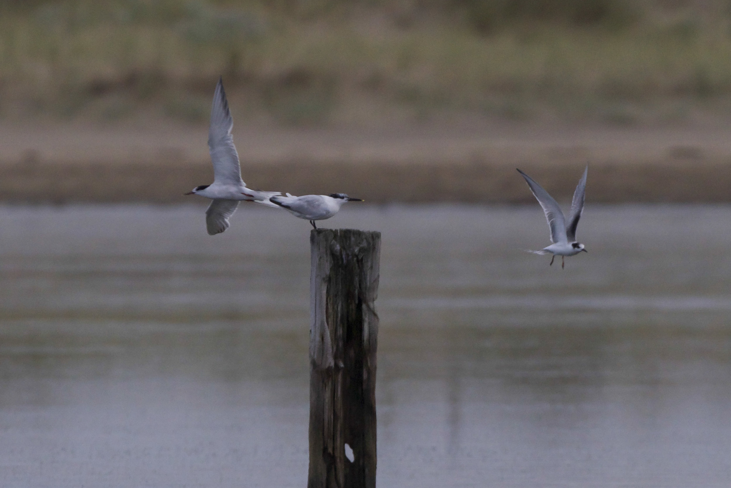 Mixed terns on Beacon Ponds