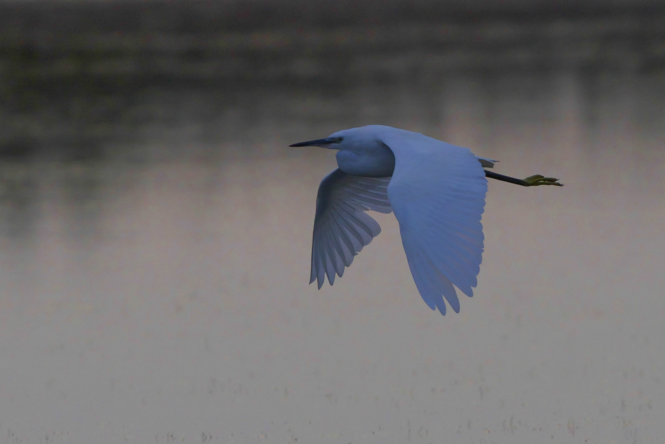 Little egret-Beacon Ponds