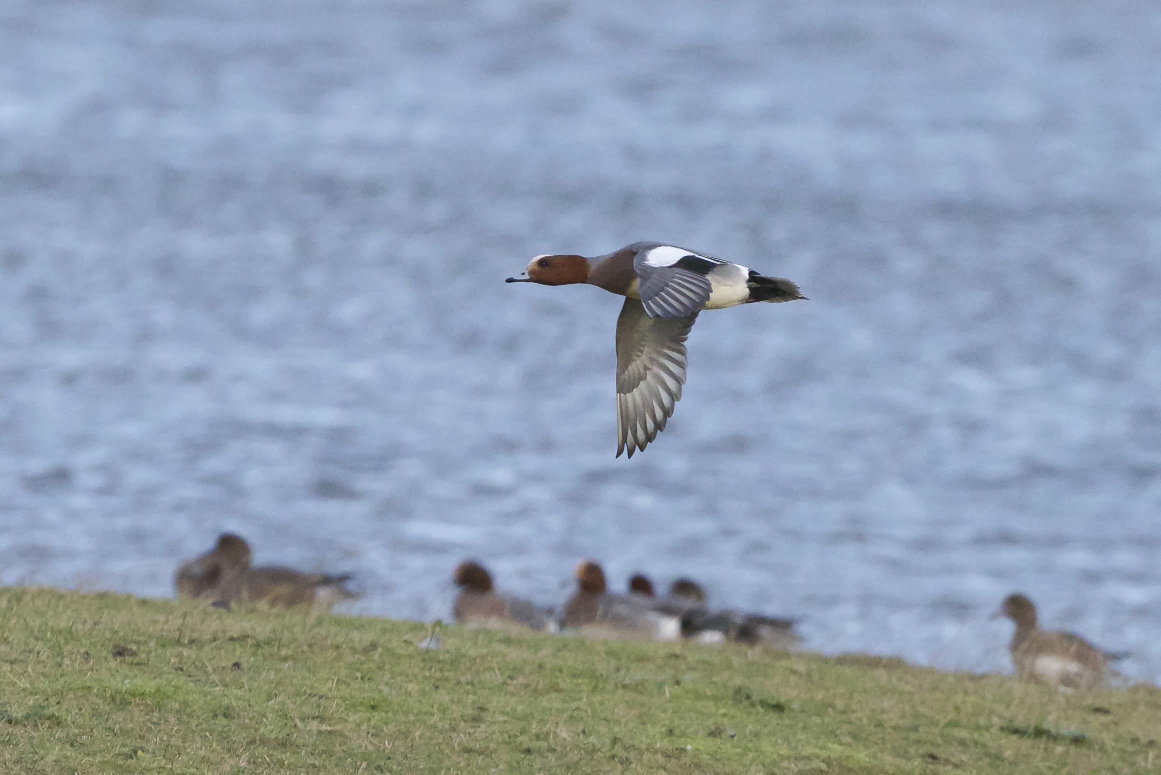 Wigeon at Kilnsea Wetlands