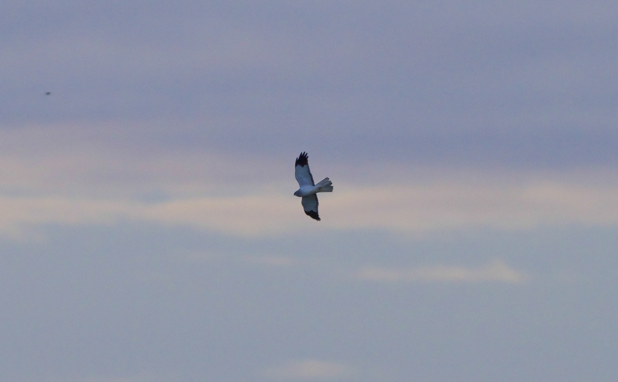 Hen Harrier at Welwick
