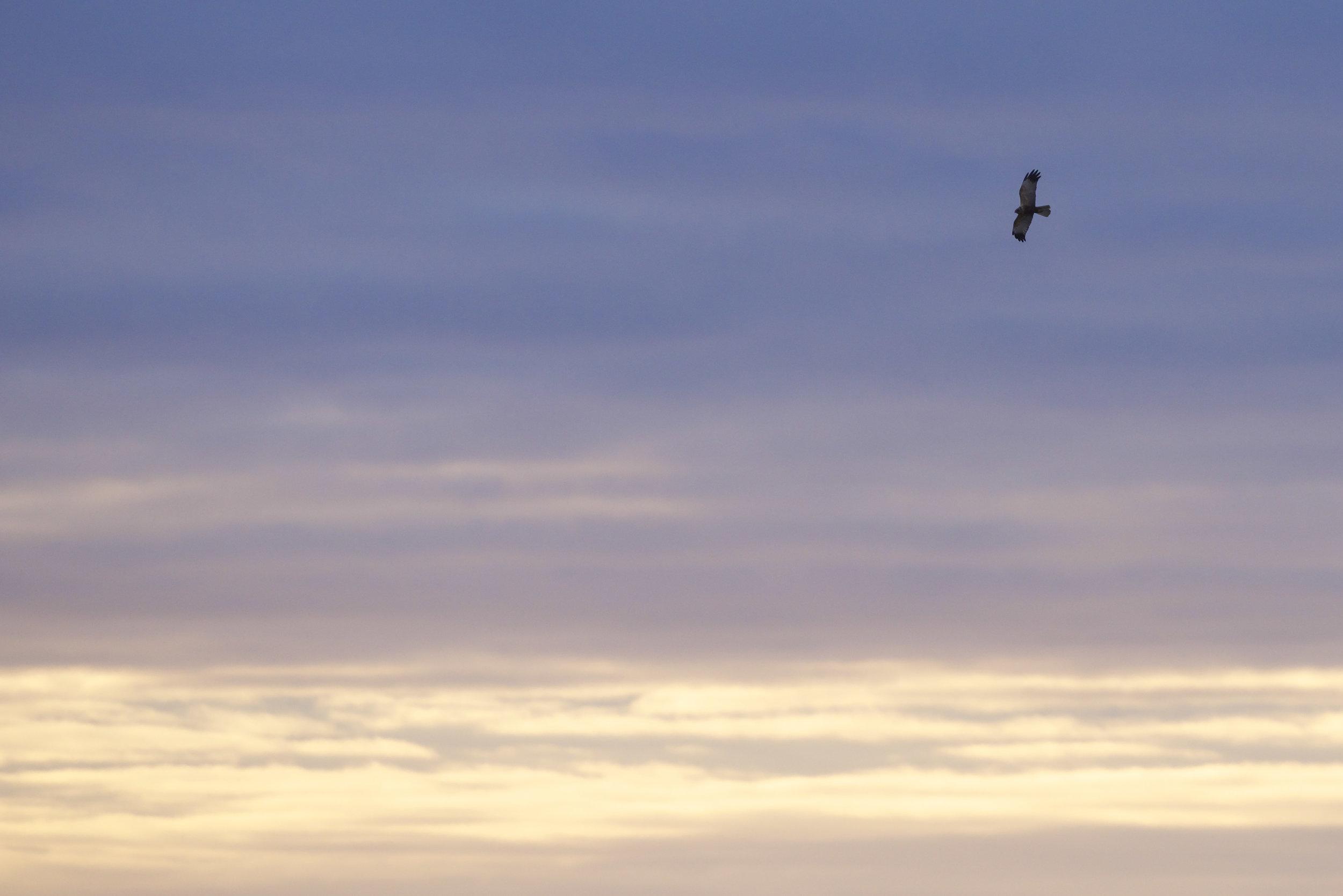 Marsh Harrier at Welwick