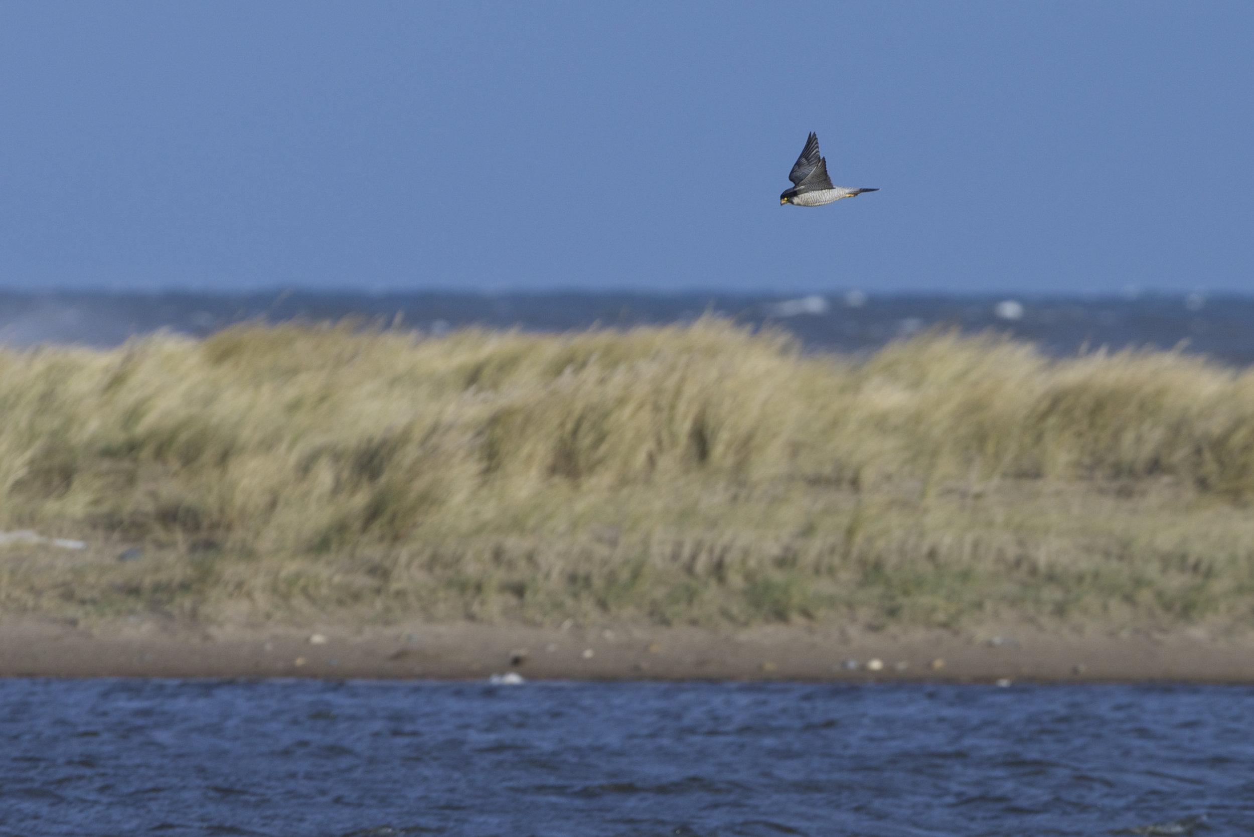 Peregrine Falcon at Beacon Ponds