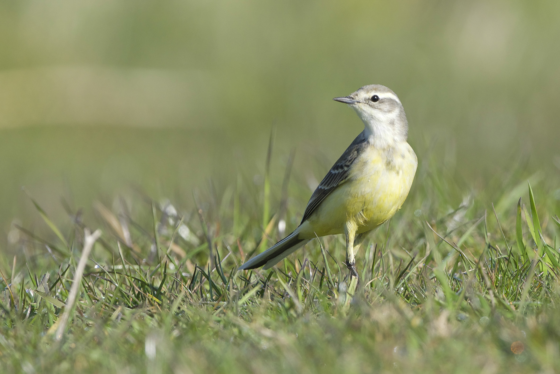 Blue-headed wagtail (female)