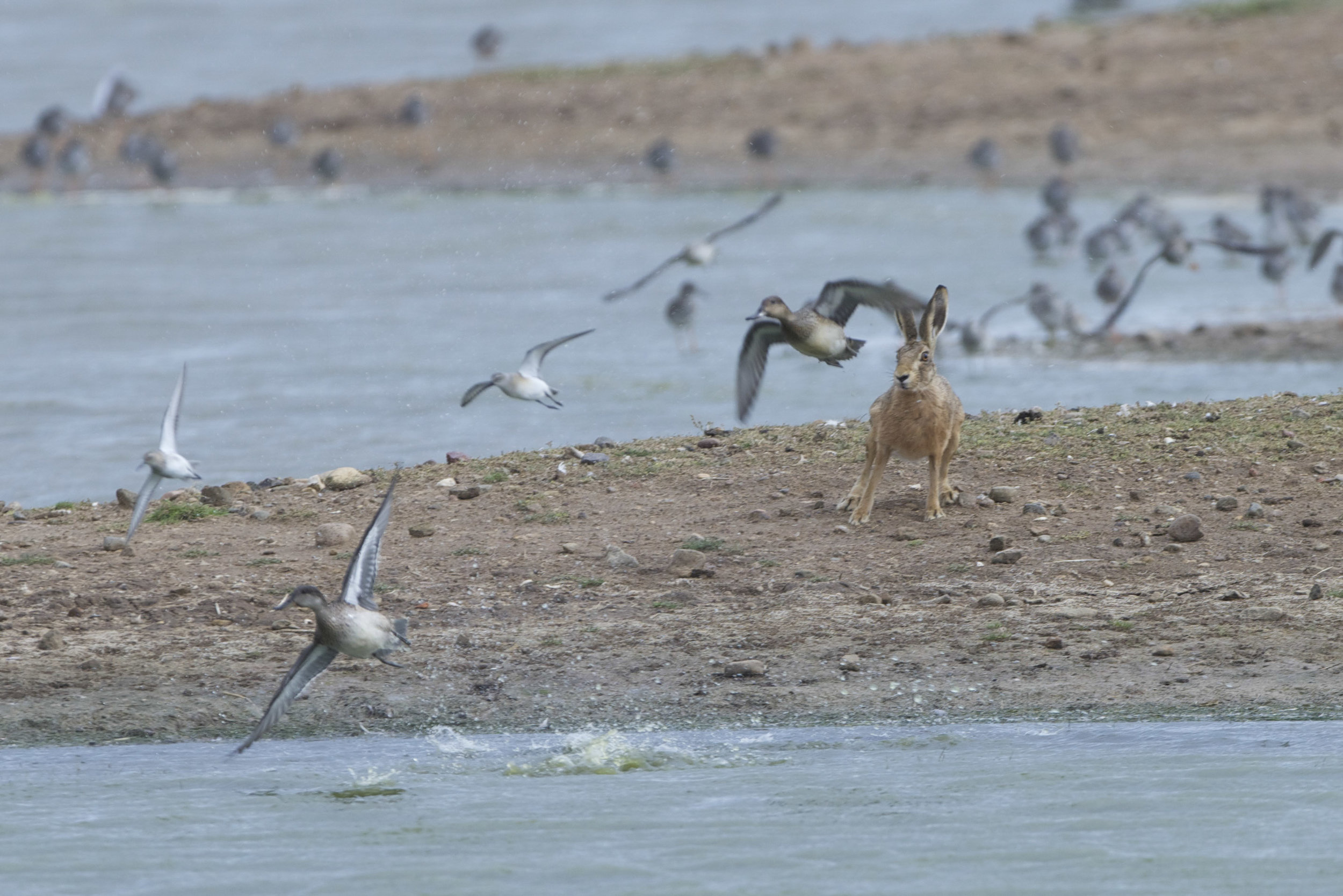 Hare, wildfowl & waders