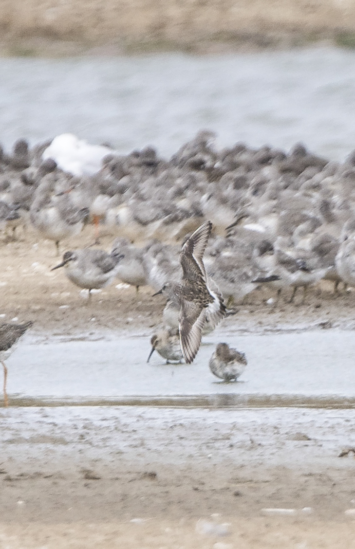 White rumped sandpiper & waders