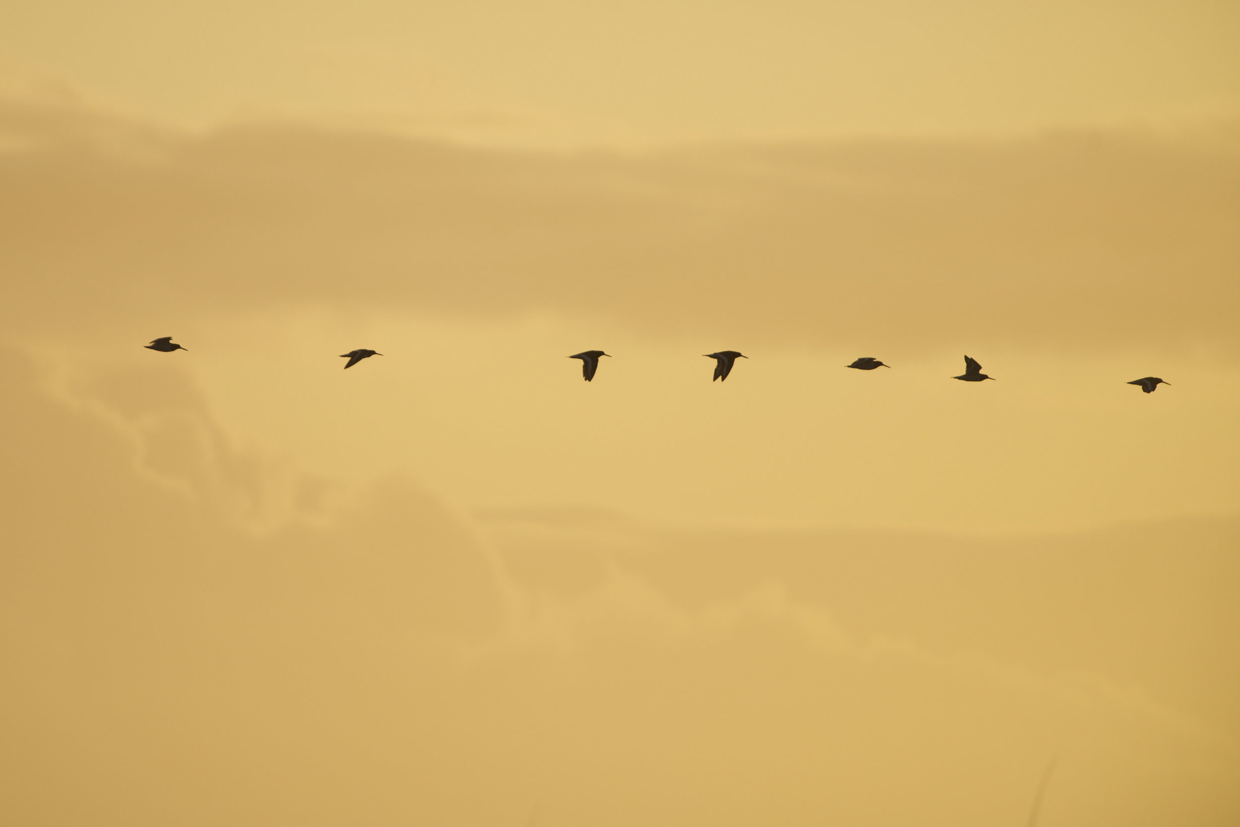Oystercatchers heading south