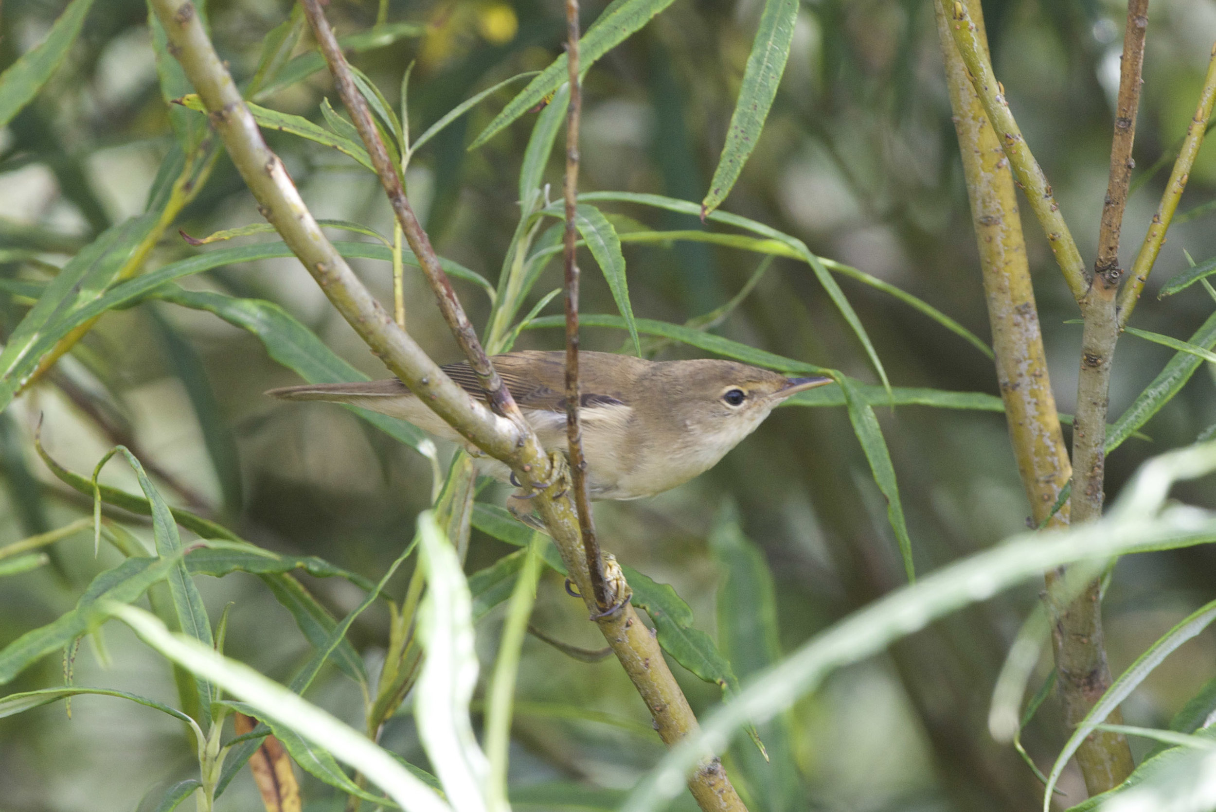 Marsh warbler (stock photo)