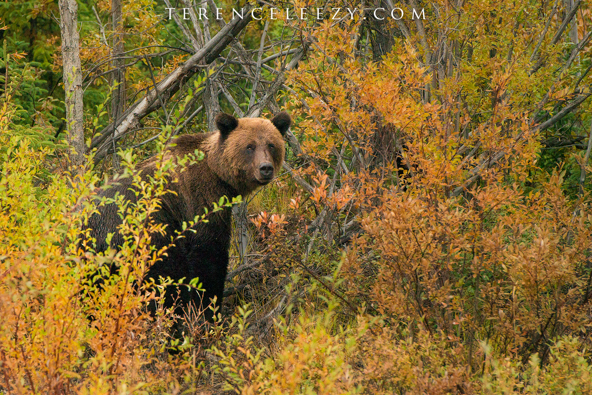 A giant grizzly bear that we met said hi.