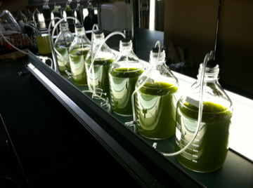 Cultivating algae with fish effluent and synthetic growth medium