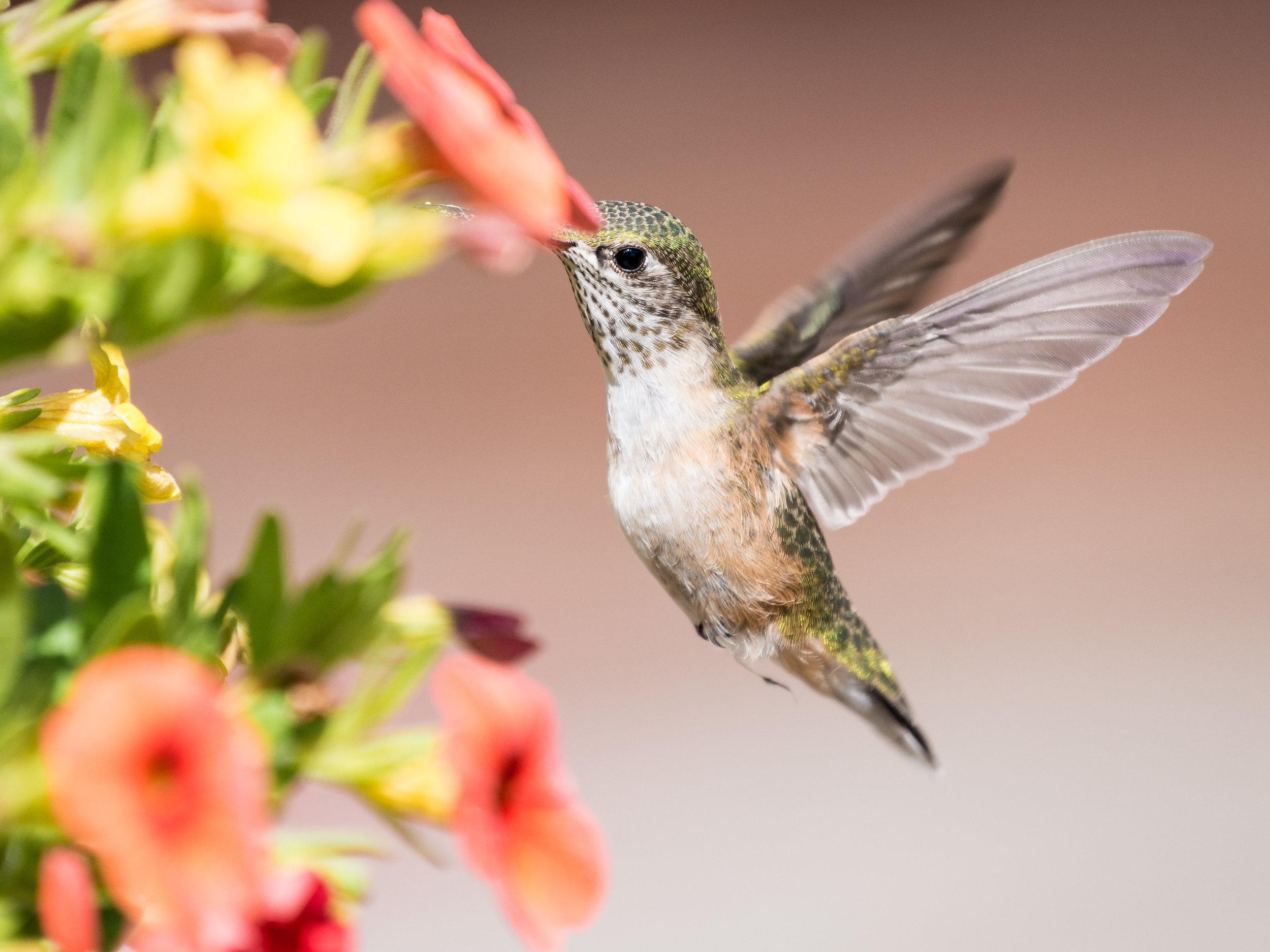 humming bird (1 of 1).jpg