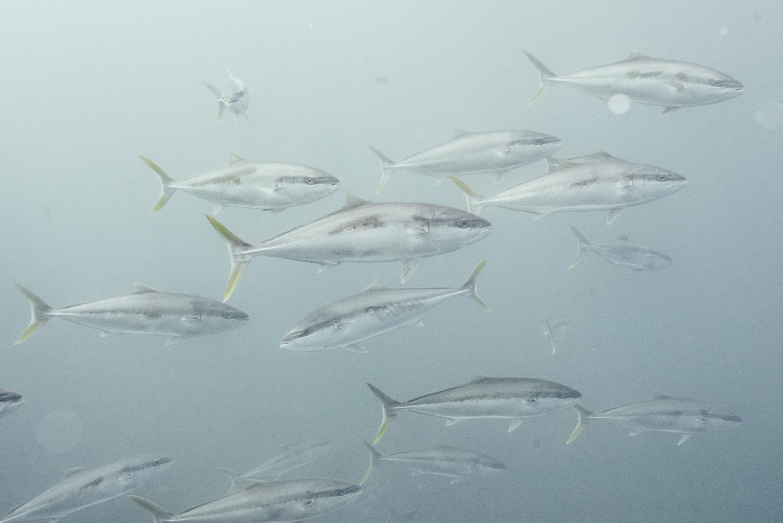 Kingfish lighter3-245.jpg