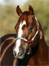 CD Lights stallion frozen breeding horse equine vet veterinary doctor Calgary Cochrane Alberta