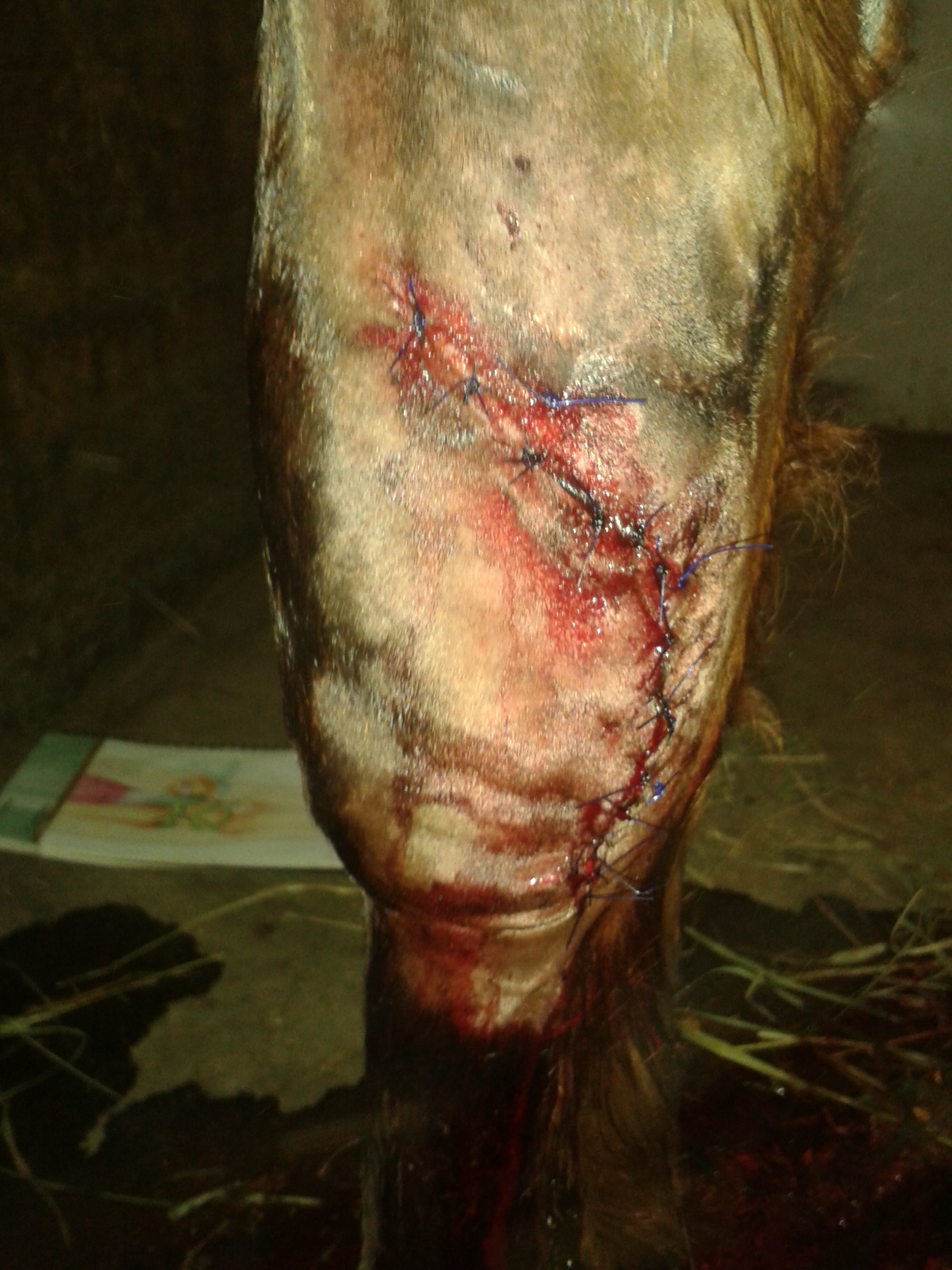 cut knee carpus wound equine vet veterinarian doctor Calgary Cochrane Alberta
