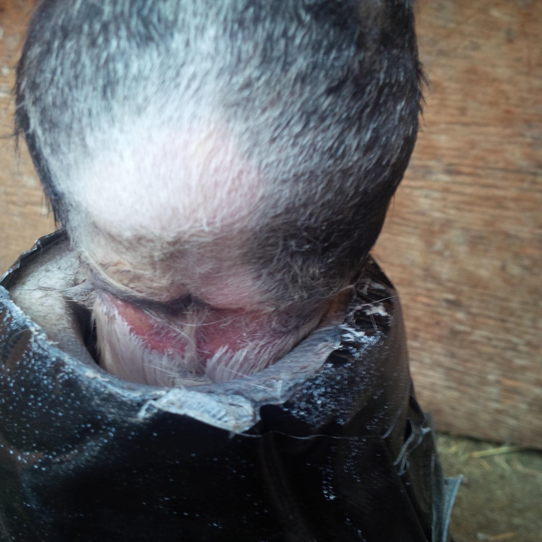 heel bulb laceration cut wound equine vet veterinarian doctor Calgary Cochrane Alberta