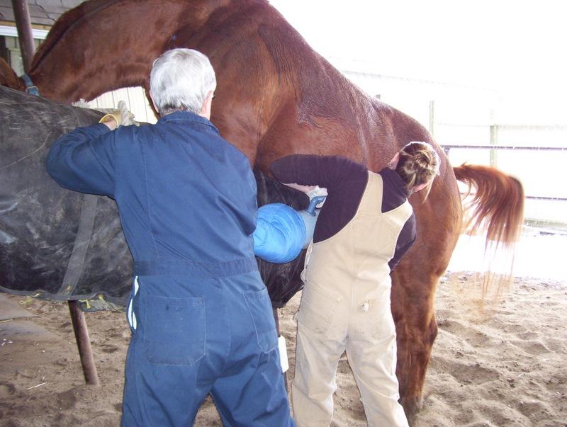 stallion breeding semen freezing equine vet veterinarian doctor Calgary Cochrane Alberta