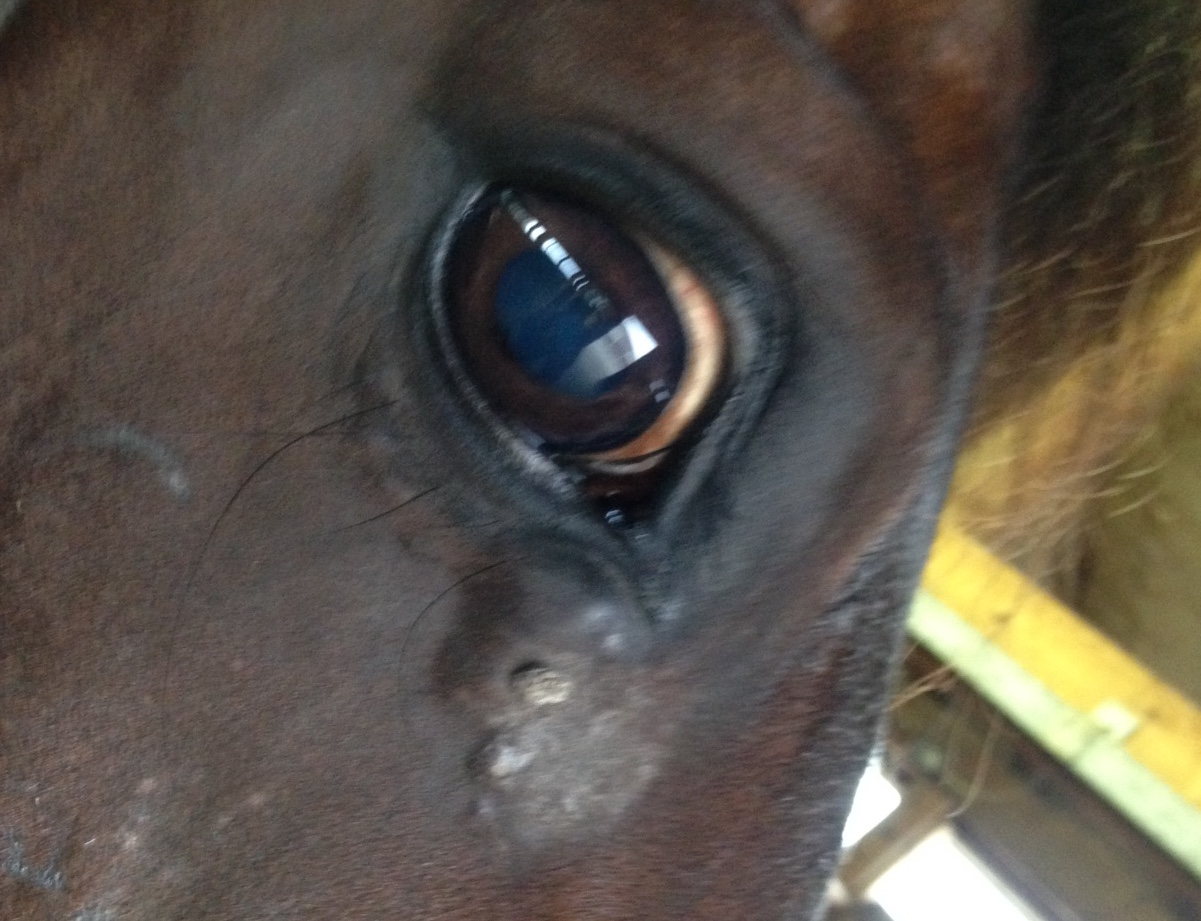 sarcoid surgery surgeon cisplatin Crystal Lee equine vet veterinarian doctor Calgary Cochrane Alberta