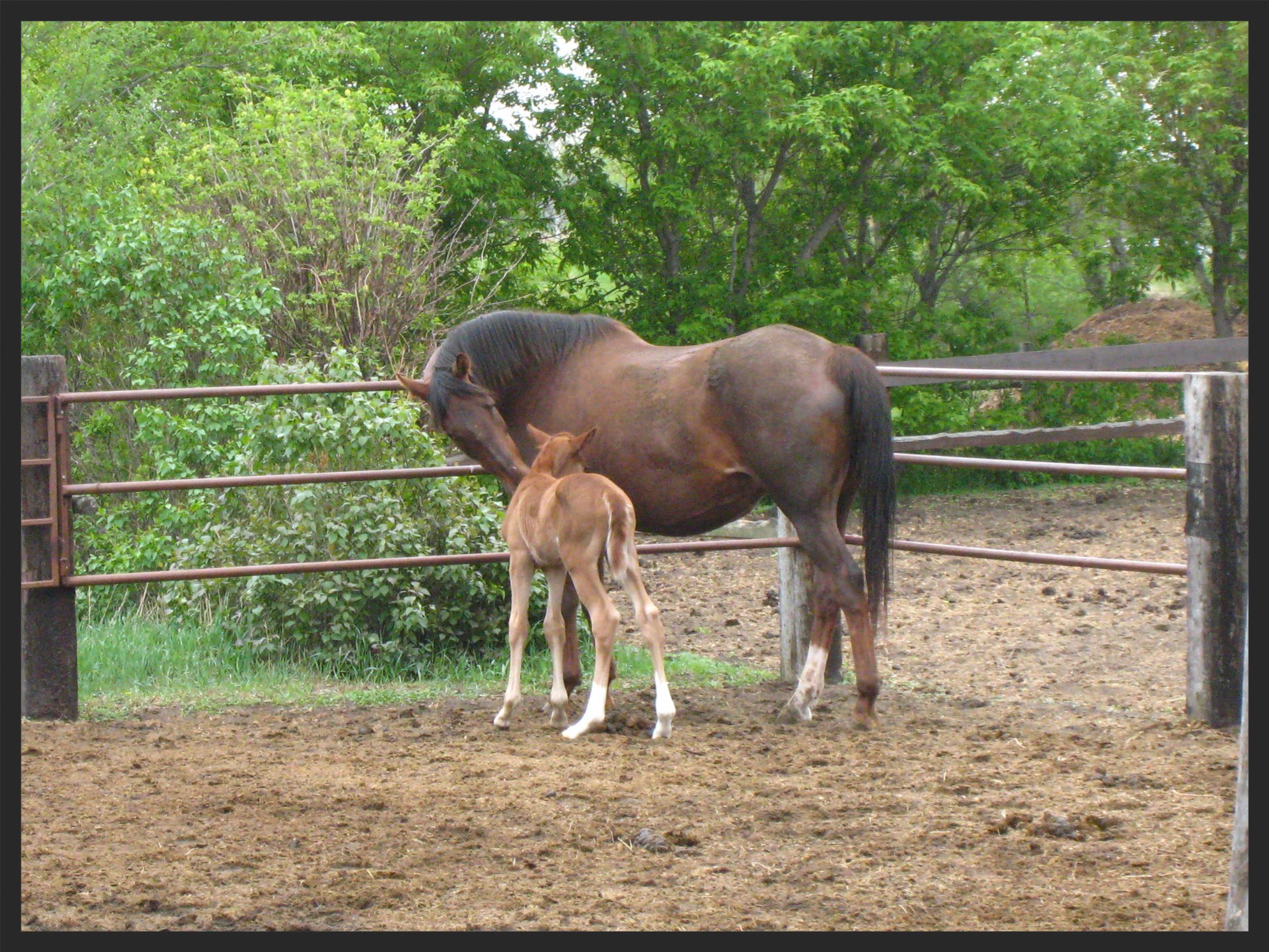 foal mare horse equine vet veterinarian doctor Cochrane Calgary Alberta