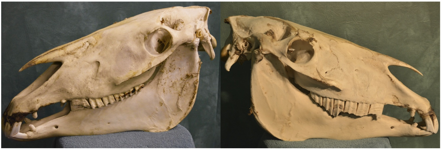 """Note the stallion's """"normal"""" side on the left, and the dentally affected side on the right (Note: there are some less significant abnormalities present on the left side as well)"""