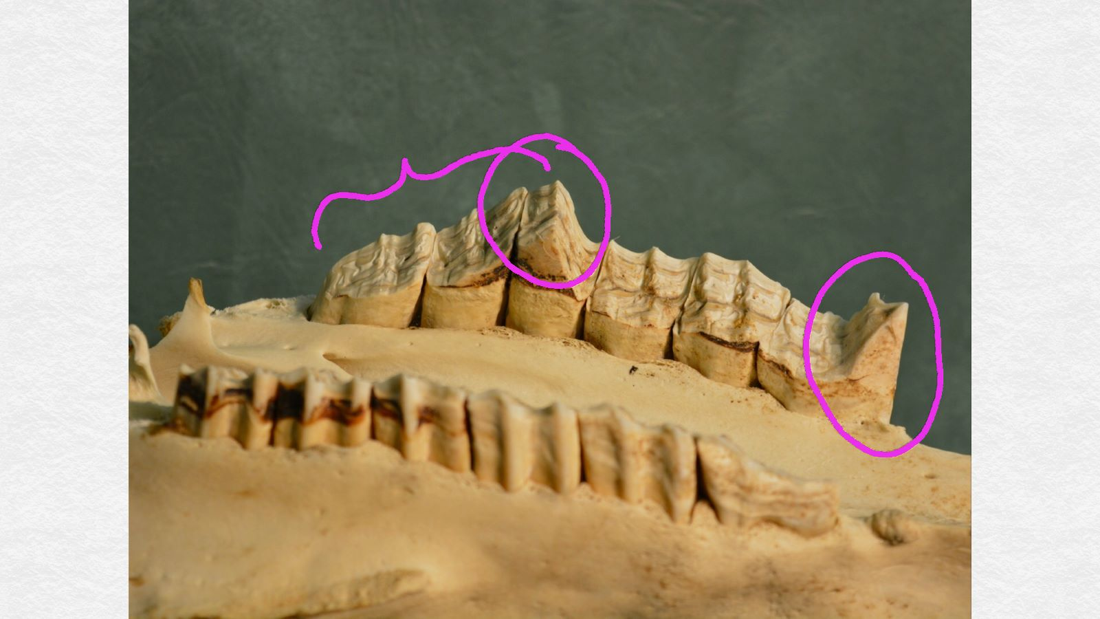 """This is the upper jaw turned upside down. Note the overgrowths of the front tooth (far right) as well as the sloping nature of the back three teeth (on the left side of the photo). Also notice that on the """"normal side"""" of the teeth (in the foreground of the photo), there is actually a little extra wear on the first tooth (far right)."""