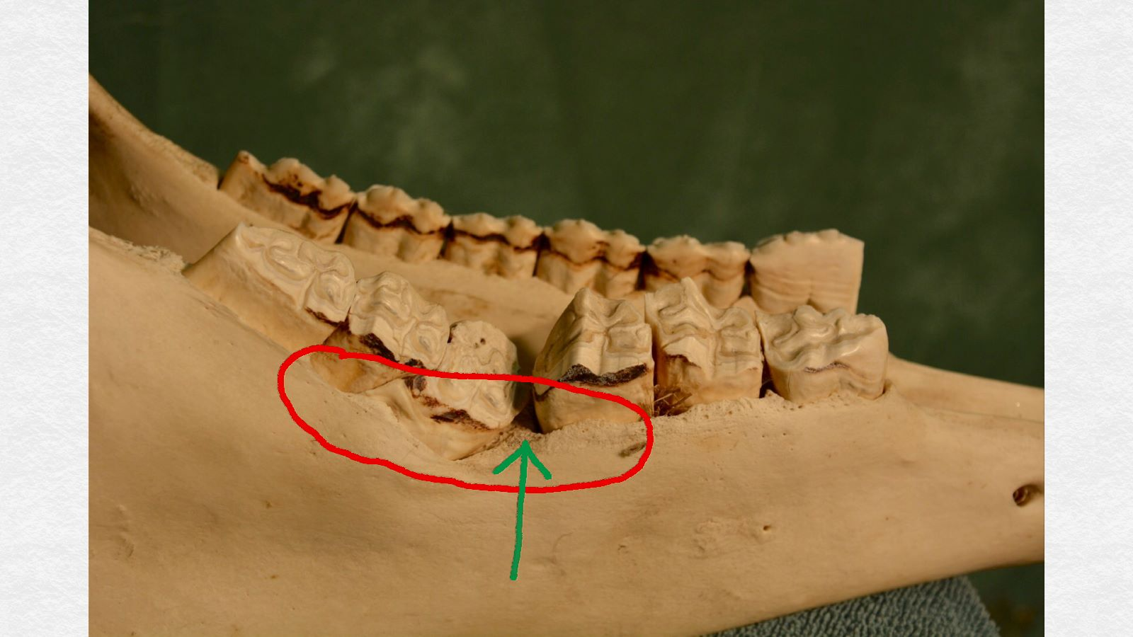 Notice the dip in the contour of the bone and generalized bone loss (red circle) in the region where the overlong upper cheek tooth was wedged between the lower teeth (green arrow). Feed would have also trapped in this area, causing periodontal disease