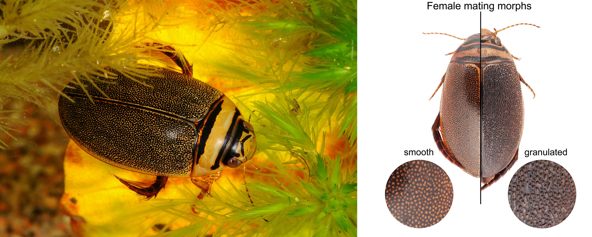A male of the diving beetle  Graphoderus zonatus  and the two female morphs with or without granulated elytra. The species has been trapped in an evolutionary standstill due to mating conflicts between males and females. Left: © Niels Sloth/Biopix. Right: © Johannes Bergsten.
