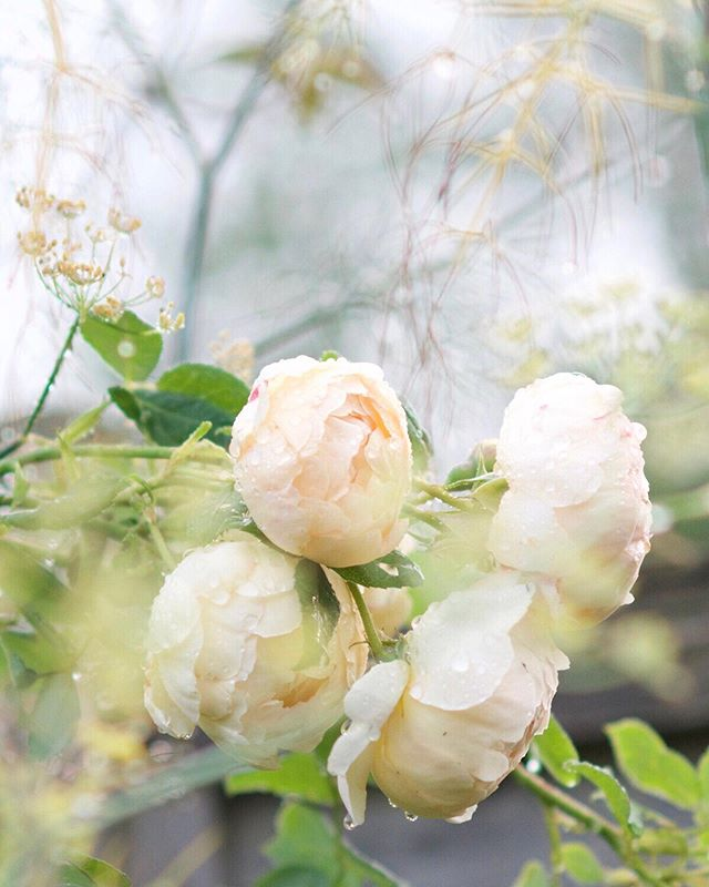 After the rain... the sweet smell of sodden earth, the raindrops caught in the blossom, the moment of calm beauty...⠀ ⠀ So I could wax lyrical, but as a designer so many small things inspire me. Today I wandered into the  garden with my camera to catch the last flush of roses, before I reach for my sketchbook...⠀ ⠀ ⠀ *⠀ *⠀ *⠀ *⠀ *⠀ #designermusings #embracechange #designerlife #designerinspo #reflections #seasonalshift #gardenlife #alltheroses #aftertherain #livemoremagic #bridaldesigner #allthatinspires #englishcountrywedding #smallmomentsofcalm #darlingmoment #capturethequiet #pursuehappy #creativityfound #adesignerinspired #floralbeauty #frommygarden