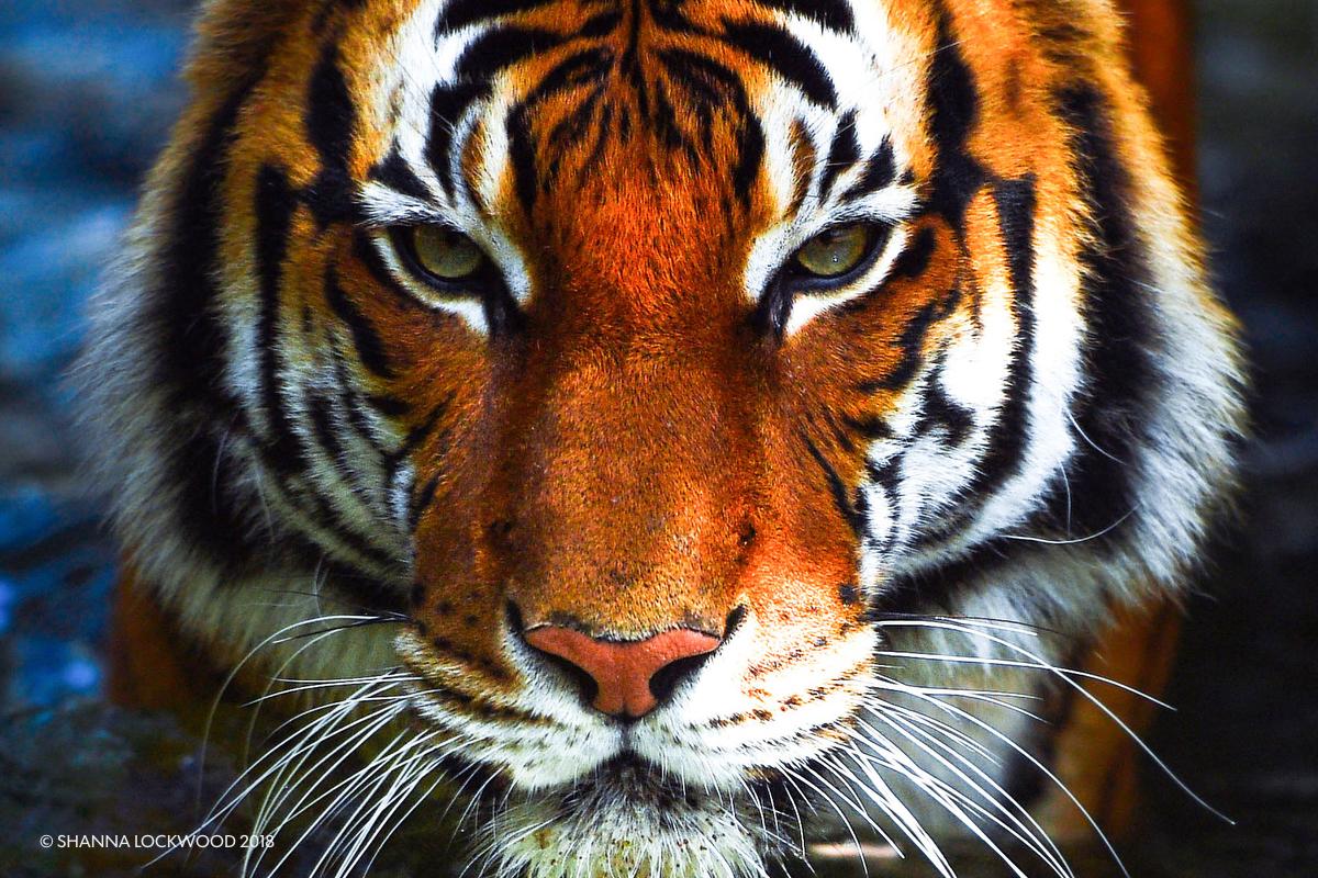 Mar 23, 2018; Houston, TX, USA; Berani, the Malayan tiger, walks through the water at the Houston Zoo. Mandatory Credit: Shanna Lockwood