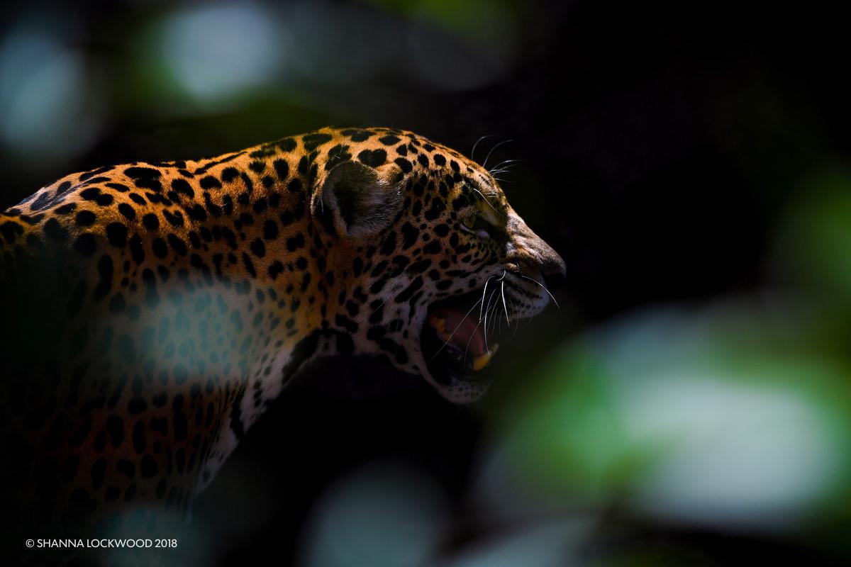 Mar 23, 2018; Houston, TX, USA; A jaguar calls her cubs at the Houston Zoo. Mandatory Credit: Shanna Lockwood