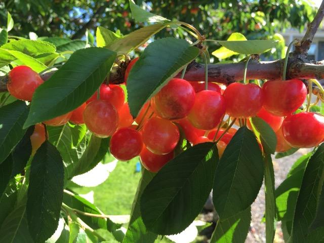 cherries06.25.19.jpg