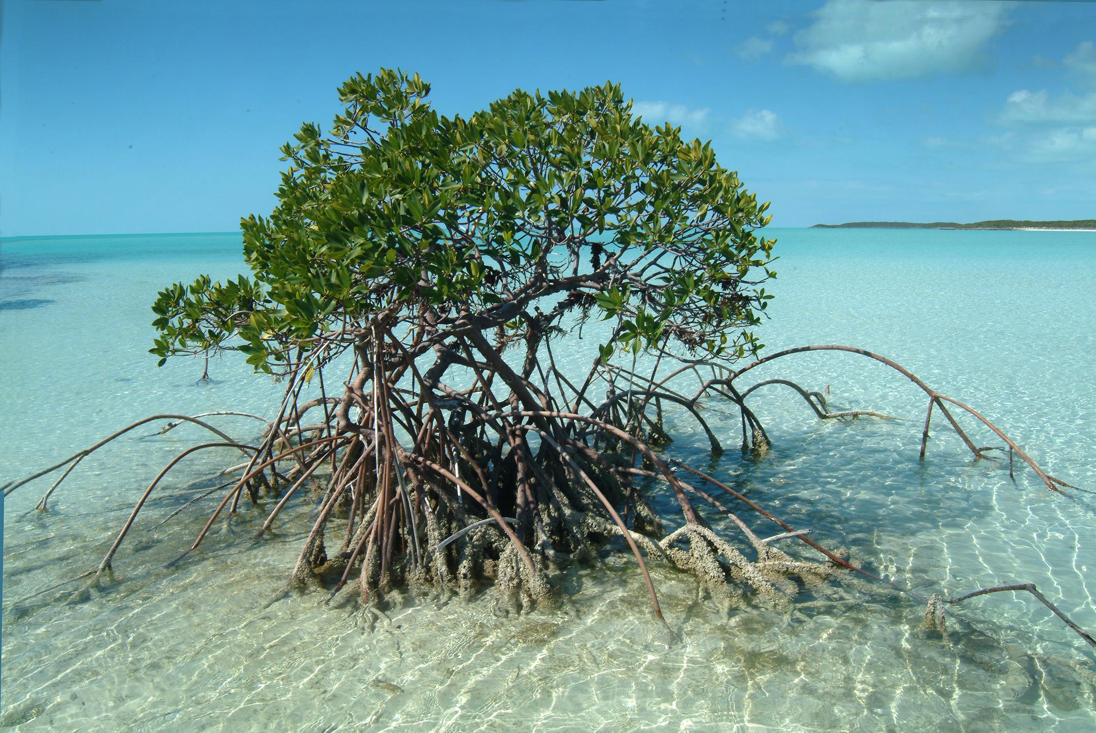 Barretare mangrove