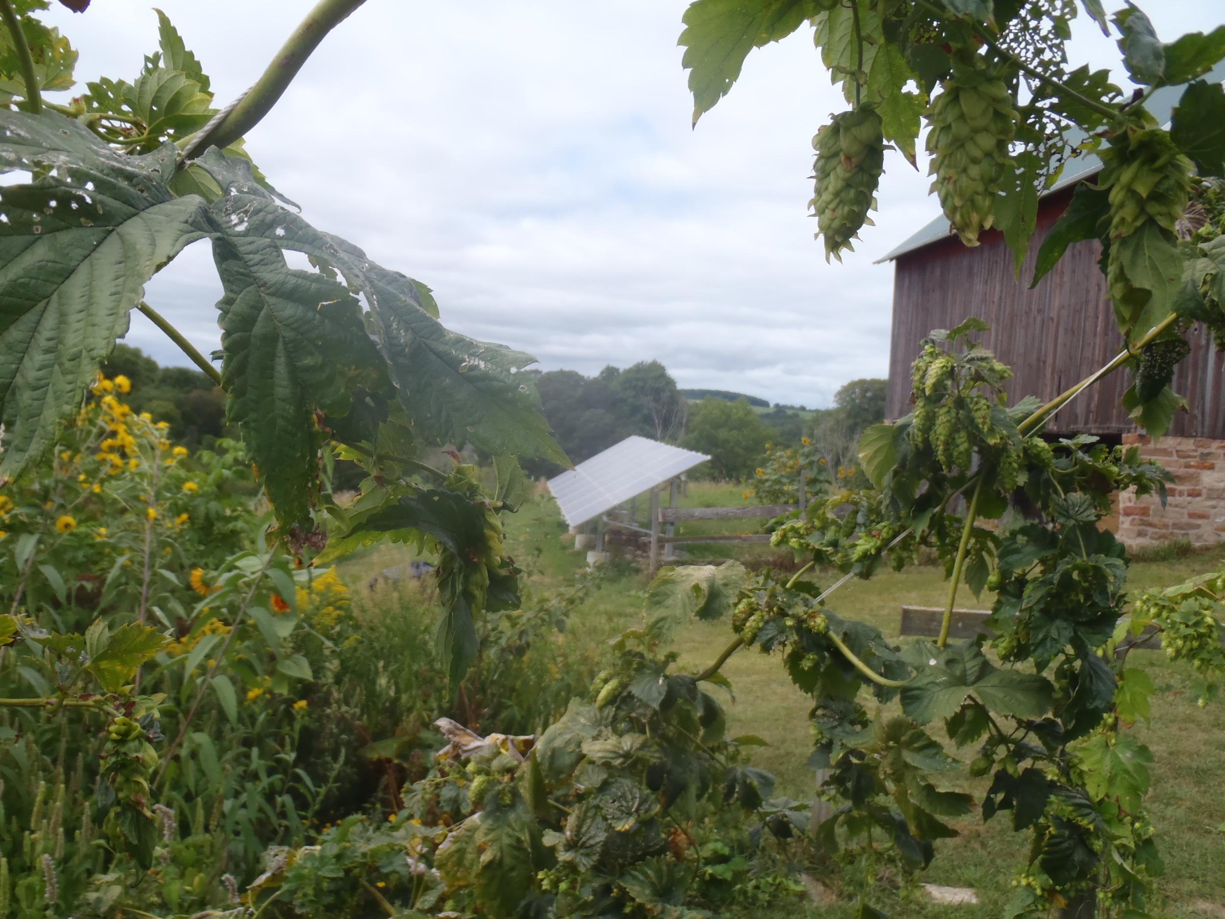 hop vines and solar panels