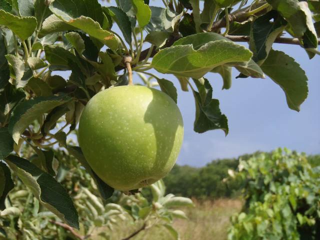 apple ripening