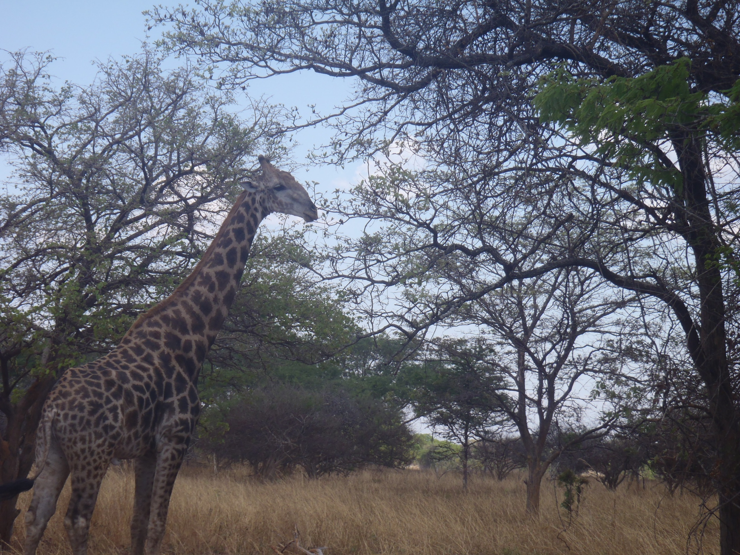 Giraffe sitings on safari in Zambia, one of the many different 'realities' present. Photo by Erin Schneider